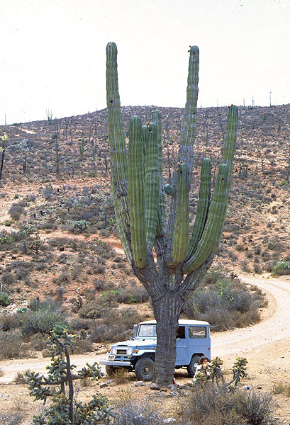 Giant Cardon along the old roadway