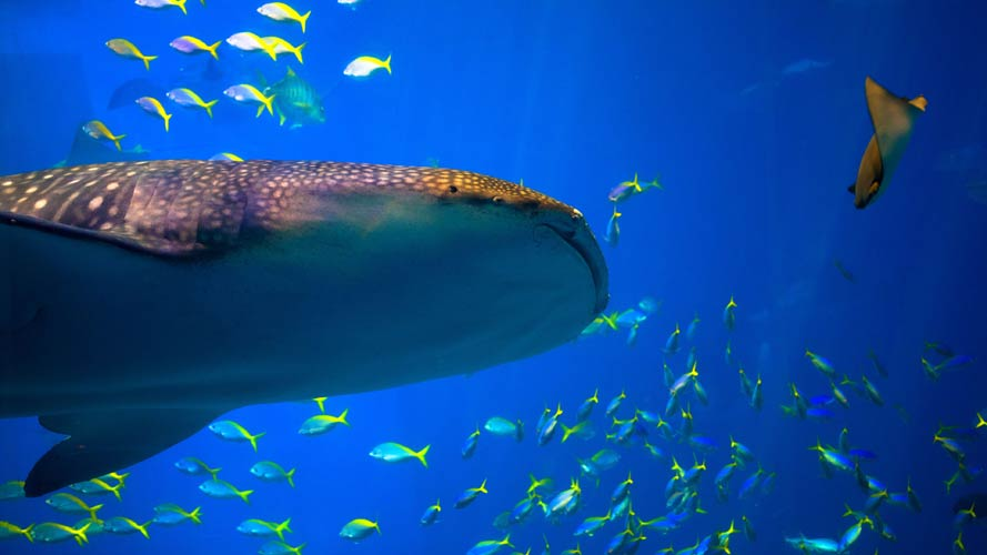Whale sharks are the ocean's largest fish and frequent a number of locations in the Sea of Cortez