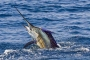 Sailfish in the Sea of Cortez