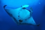 Giant Manta  - Manta birostris -  in the Sea of Cortez