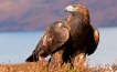 A mature Golden Eagles, fledglings have been spotted in the mountains of Baja California Sur