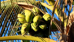 Coco seed pods of the palms in Baja