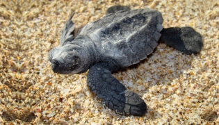 Hatchling sea turtle in those first few desperate hours of life