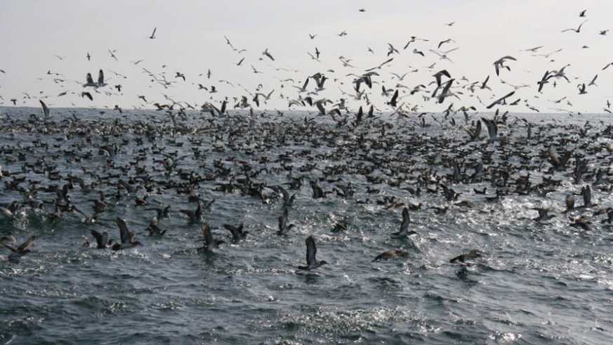 Flurry of sea birds on the southwest coast ofg Cedros Island