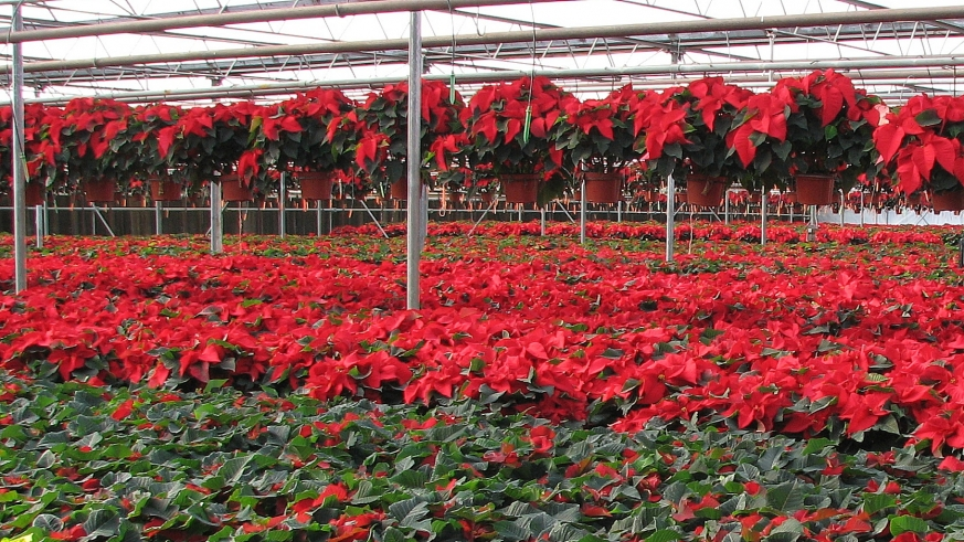 Poinsetta-nursery