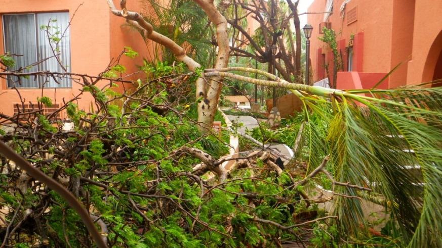 Trees downed by Hurricane Odile
