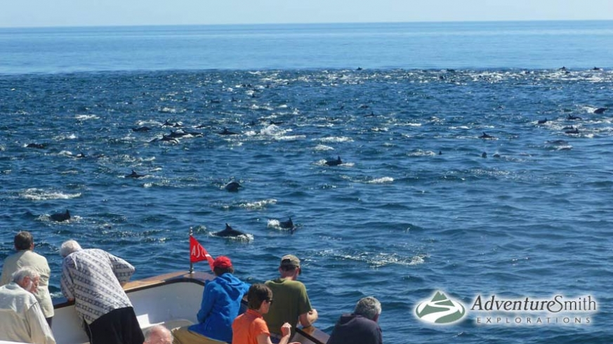 An enormous pod of dolphins encountered by the AdventureSmith cruise
