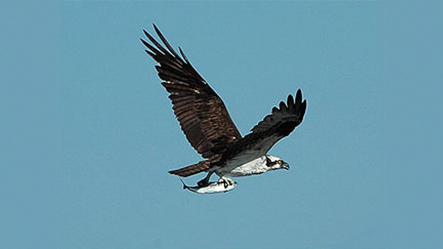 Osprey Pandion haliaetus in flight over Bahia de Los Angeles