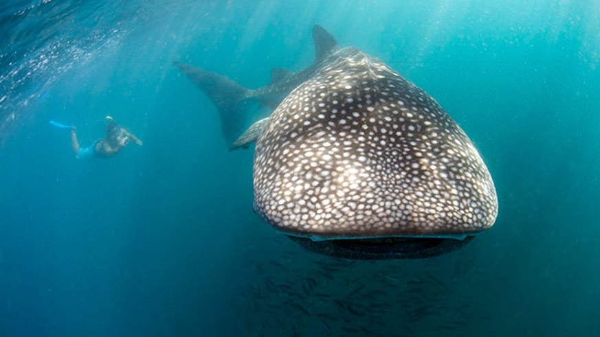 The Cortez Club is a certified provider of visits to the whale sharks in the Bay of La Paz
