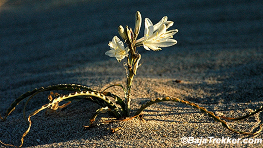 The desert lily of Baja California