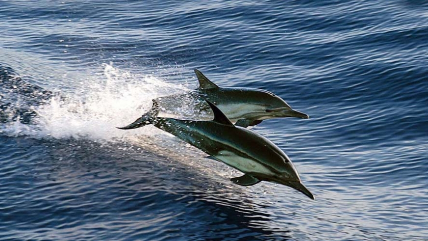 Dolphins bow riding an AdventureSmith smll ship adventure