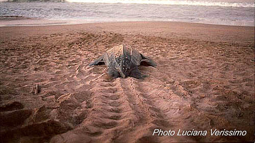 Adult leatherback turtle working back toward the ocean