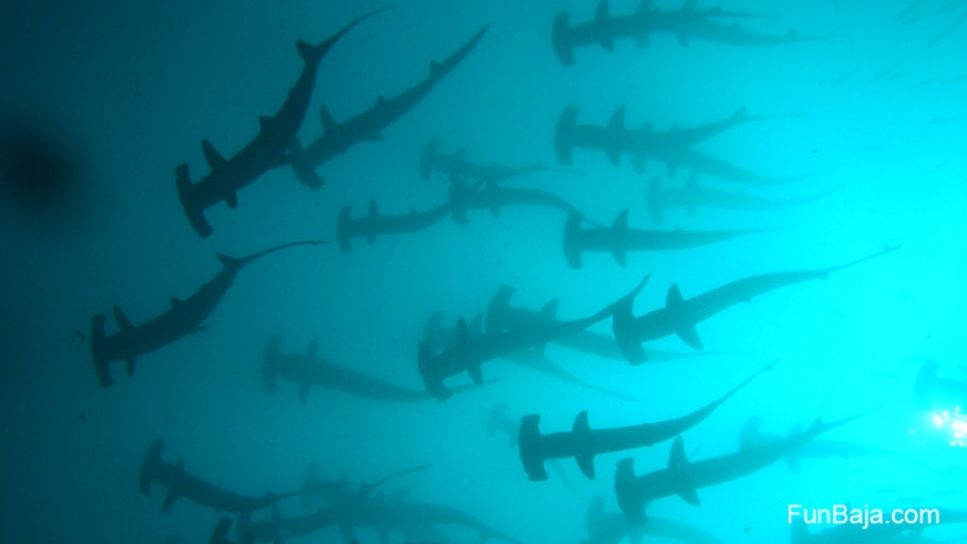 Hammer head sharks in the Sea of Cortez