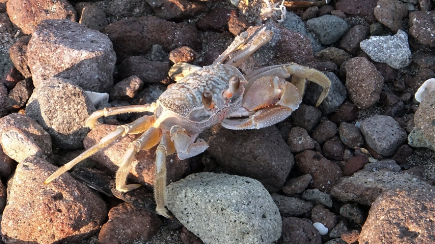 Crab scouting among the rocks on Isla San Diego