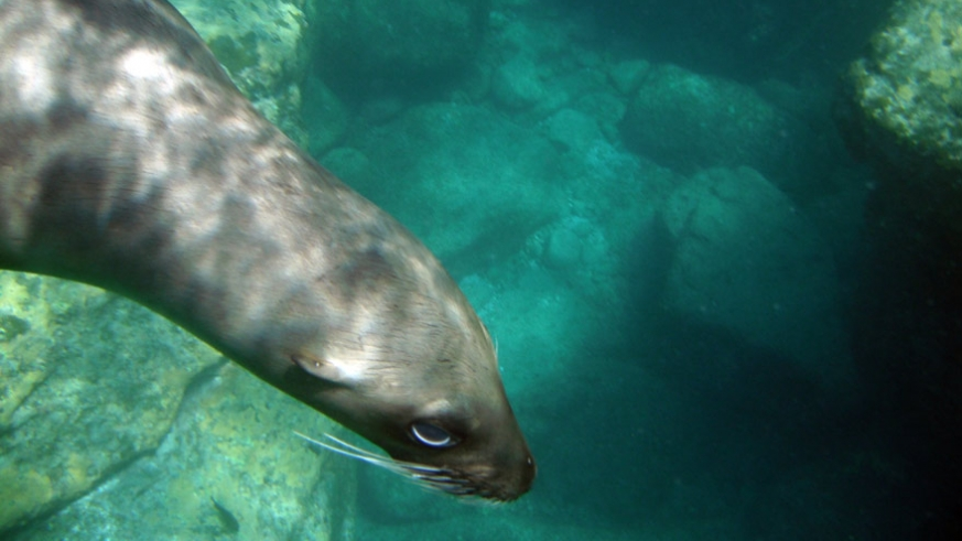 The sea lions of Los Islotes are a major charter attraction to the north end of the island chain