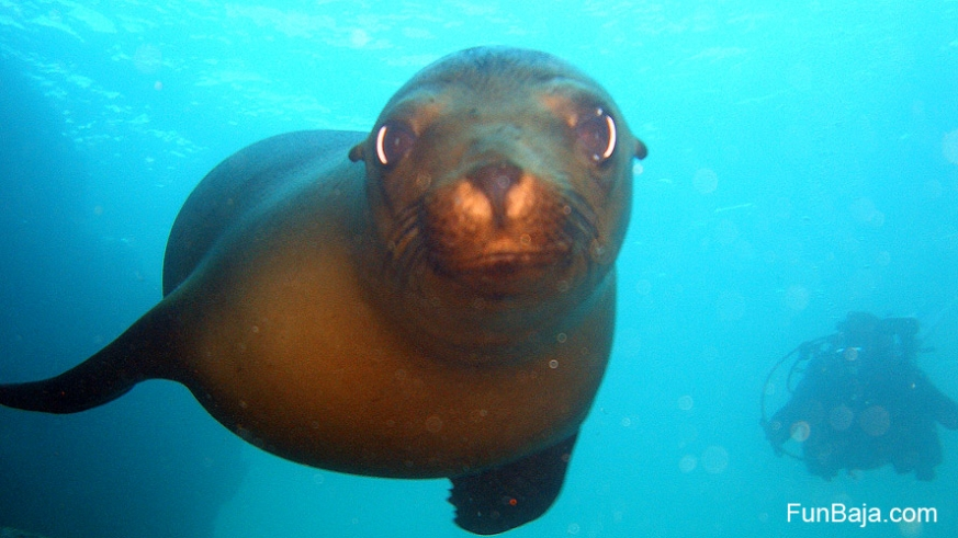 Sea lion yearling flirts with the photographer
