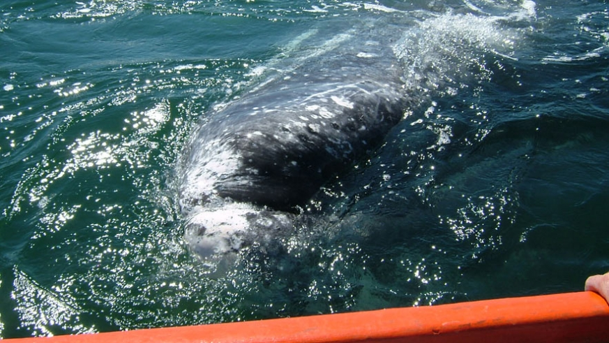 One of the friendly Gray Whales of Baja approaches tour boat (Ritchie)