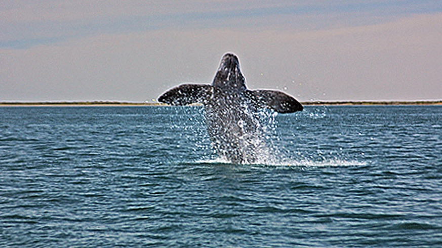 A Gray Whale breeches in Baja (Ritchie)